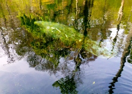 Manatee in the Ichetucknee River, Florida
